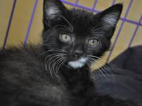 Tuxedo - Stormy - Medium - Young - Male - Cat You can