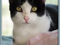 Tuxedo - Teddy - Medium - Adult - Male - Cat Our