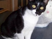 Tuxedo - Thelma Lou - Medium - Adult - Female - Cat