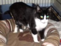 Tuxedo - *timothy - Medium - Young - Male - Cat