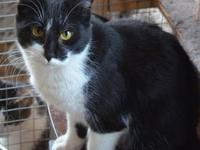 Tuxedo - Tux - Large - Adult - Male - Cat I am a bit