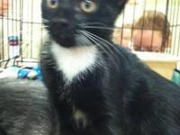 Tuxedo - Zorro - Medium - Young - Male - Cat FIGHTING