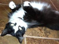 Tuxedo - Dotty - Small - Adult - Female - Cat I was