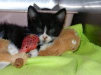 Tuxedo - Rim - Medium - Baby - Female - Cat Rim is 16