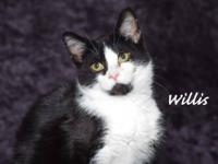 Tuxedo - Willis - Medium - Baby - Male - Cat Willis is