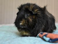 Tweedle is a 9 month old guinea pig who was rescued