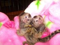 Twin Pygmy Marmosets Monkeys for sale. This Monkeys are