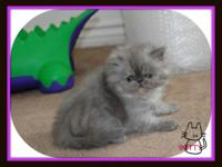 vtwin sister blue smoke persian kitten c.f.a. register