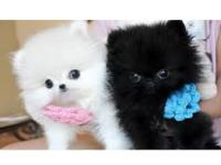 twin male and female Teacup Pomeranian Puppies in need