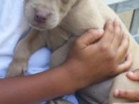 Have two 8 week old fawn pitbull puppies available.