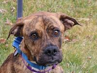 Twix's story I am a 1 year old female brindle