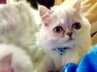 These two female Persian kittens are adorable and have