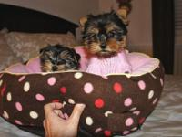 Two(2) Potty Trained Teacup Yorkie puppies For