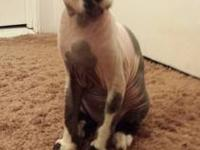 I have 2 6 month old Sphynx Kittens. All Kittens are up