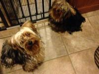 I have two adorable male Yorkie one years that need a