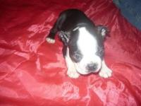 I have two Boston puppy's very adorable one male and