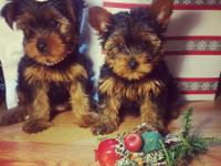 I have three Cute Tea Cup Yorkie puppies which i am