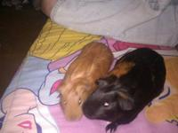 I have two female guinea pigs for sale. They are mother