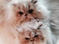 We have available two beautiful solid cream Persian