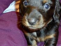 Two beautiful male AKC litter registered, longhair,