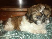 I have a litter of AKC Shih Tzu puppies available next