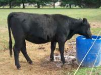 I have two black angus heifer calves for sale. Out of