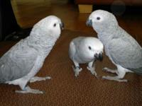 Two attractive African Grey parrots . They are current