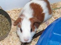 We got two guinea pigs back in April. Surprise! one of