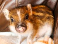 I have two baby teacup pigs ready for adoption! (one