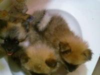 I have two Beautiful Black and tan Pomeranian male