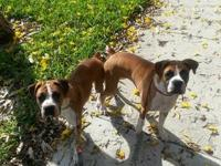 I have two beautiful female spayed boxers a year and a