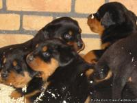 I have beautiful Rottweiler Puppies for adoption, the