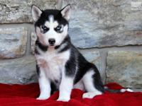 vkajasujy We have two beautiful Male and Female husky