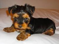 I have two beautiful, small Yorkie puppies. One male