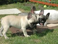 Two Beautyful French Buldog puppies,male and female now