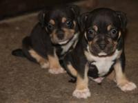 LOCO X MYA PUPS ARE ALMOST 5 WEEKS I HAVE TWO MALES