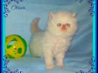 I have a beautiful Blue Eyed Snow White kitten and his
