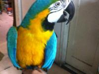 Two blue and gold macaws ready to go now. Both male and