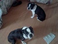 we are getting rid of our boston terriers, they are