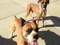 A handsome boxer and a beautiful female is up for sale.