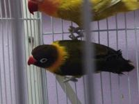 Hi, i have two breeding pairs of lovebirds for sale The