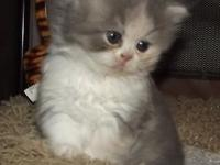 Two Persian Kittens registered one dilute calico female