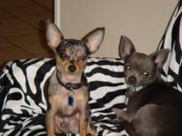 We have two toy Chihuahuas looking for a good home. We