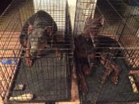 I have 2 CKC Dobermans for sale. Male-Red & & tan,