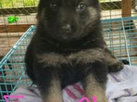 Two female ckc full blooded German Shepherd puppies for