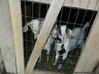 These little goats where born March 18,