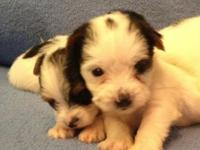I have two very cute AKC registered Parti Yorkie males