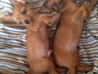 I have 2 male chorkies (chihuahua/yorkie mix) available