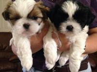 I have one male white/brown & one female black/white