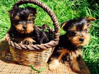 I have two outstanding Yorkshire Terrier Puppies for